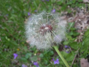 DandelionSeeds